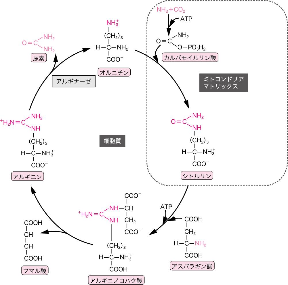 代謝 アミノ酸